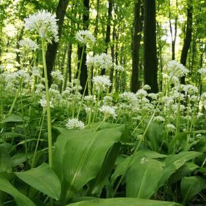 John Chambers Garlic, Wild (ramsons) (allium Ursinum) Herb Seeds Packet