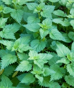 nettle for hay fever at www.baldwins.co.uk
