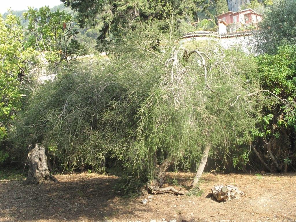 Tea Tree (in a more ornamental setting)