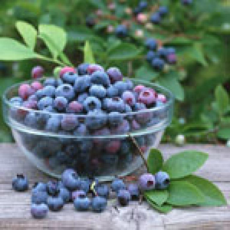 The Benefits of the Bilberry
